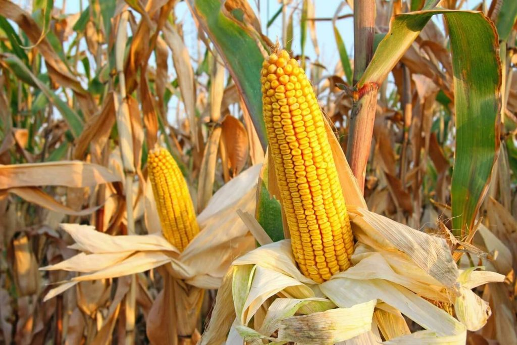 Get to Know Corn in Indonesia and Corn Cultivation Techniques