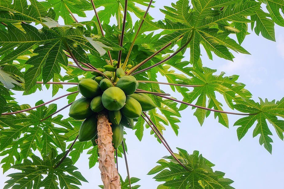 The Benefits of Papaya Leaves are Also Important for Human Health