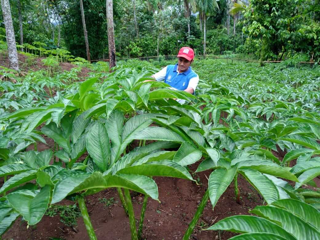 The Newest Indonesian Elephant Foot Yam Cultivation Way