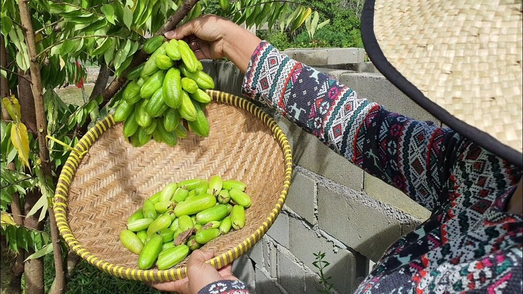 Wuluh Starfruit Efficacious as the Most Potent Acne Medicine