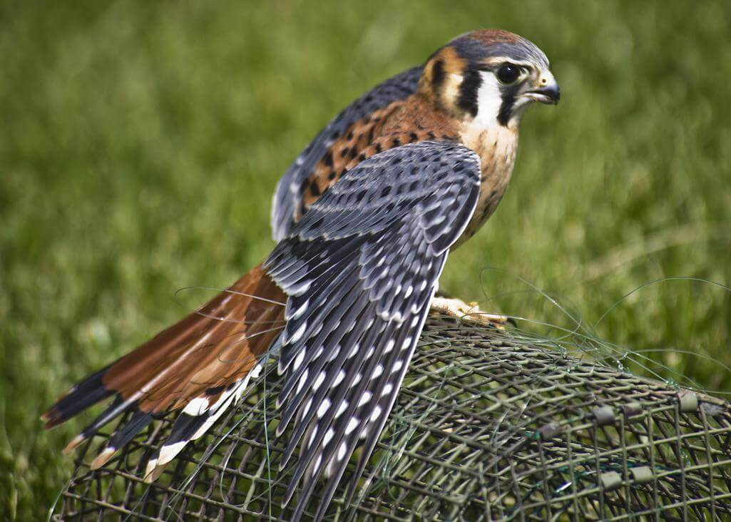 American Kestrel Range Leaving Males to the More Wooded Areas