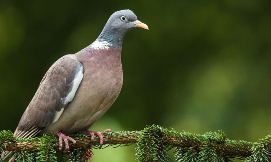 Wild Pigeon Food and Best Healthy Food for Pigeons