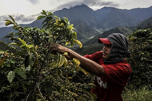 Gayo Coffee Beans Has Bright Acidity and Delicate Bitterness